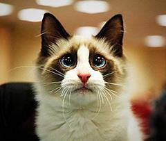 Ангельский кот